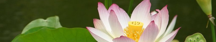 cropped-lotusflower.jpg
