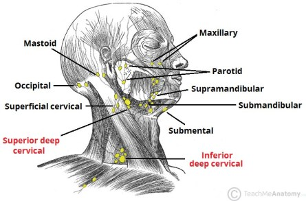 Lymph-Nodes-of-the-Head-and-Neck1.jpg