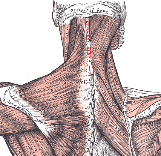 Nuchal_ligament.PNG